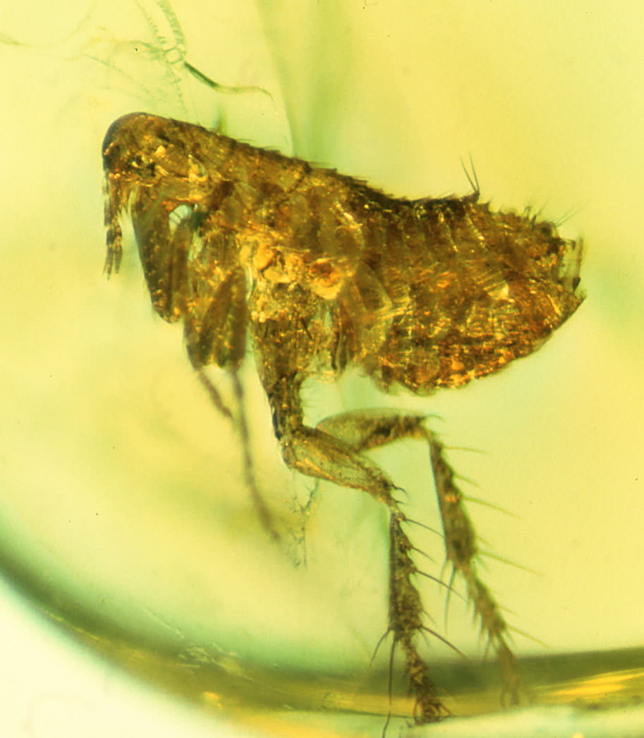 rare-flea