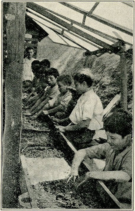 Fig. 14.—Photograph showing sorting shed and manner in which emeralds are separated from the crushed matrix.