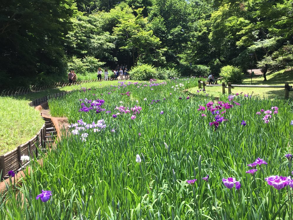 View of the iris gardens at Meiji