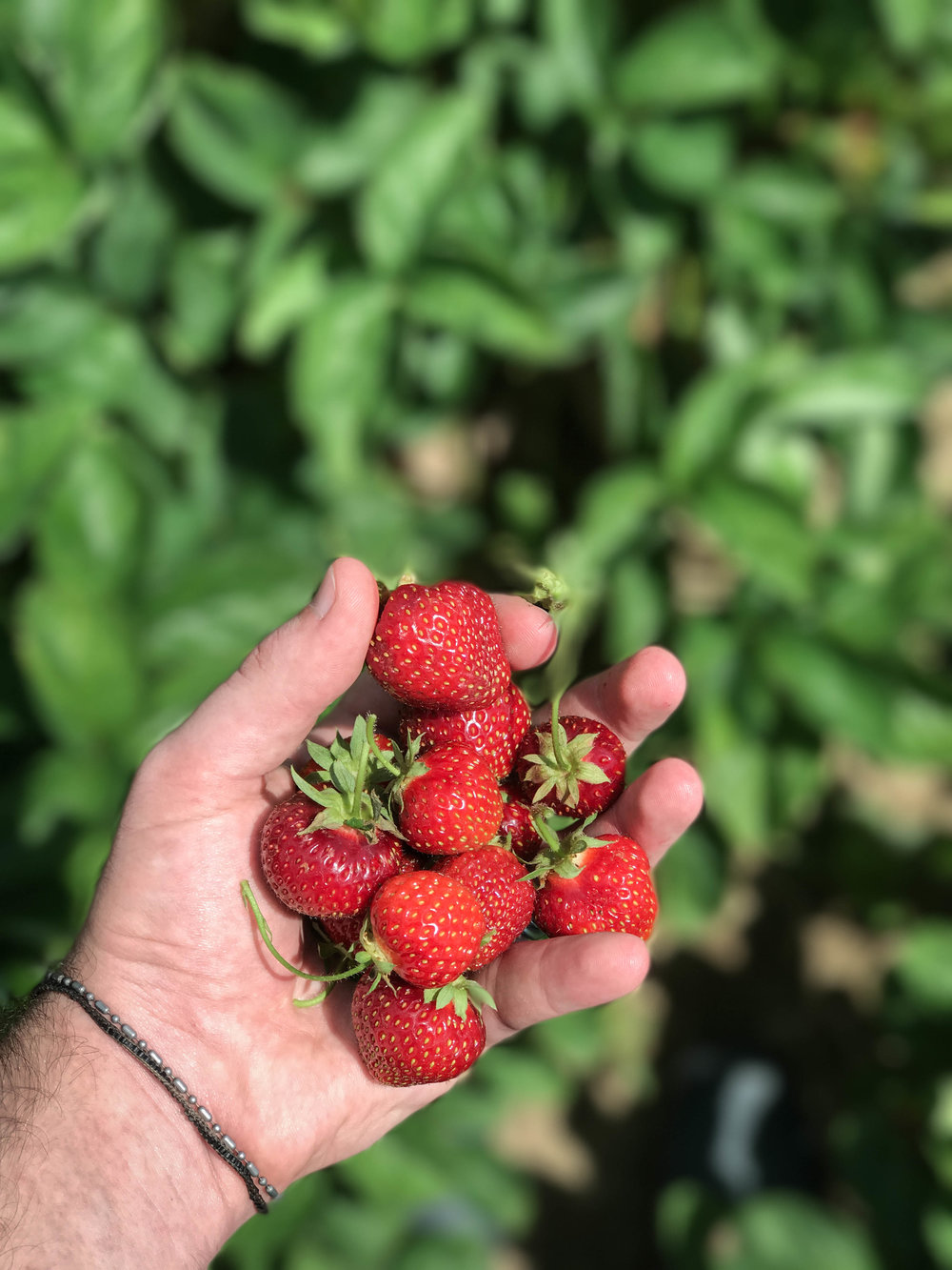 Strawberry Picking and Lemon Poppyseed Strawberry Shortcake