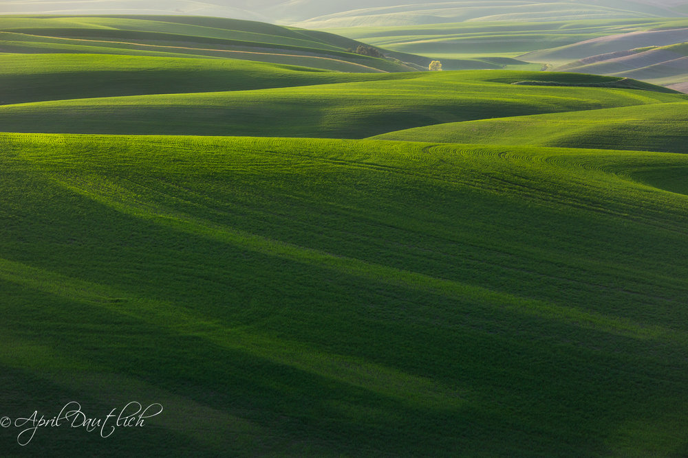 Palouse Glowing Tree