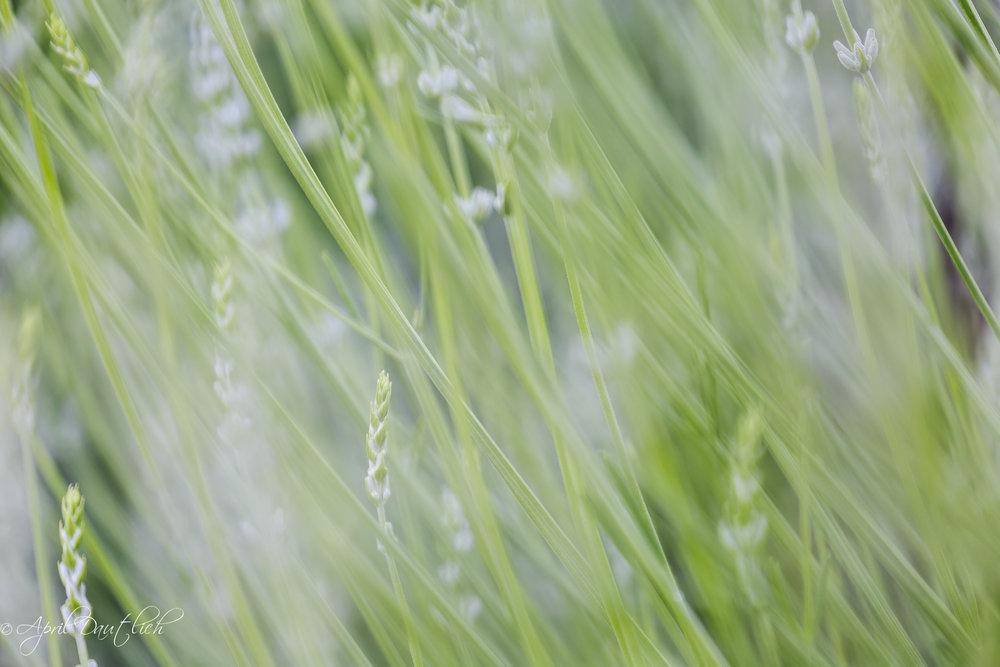 Lavendar streaks