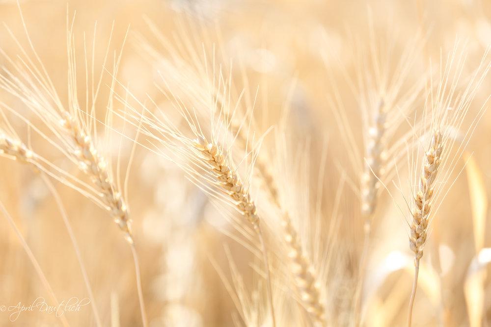 Italy Wheat