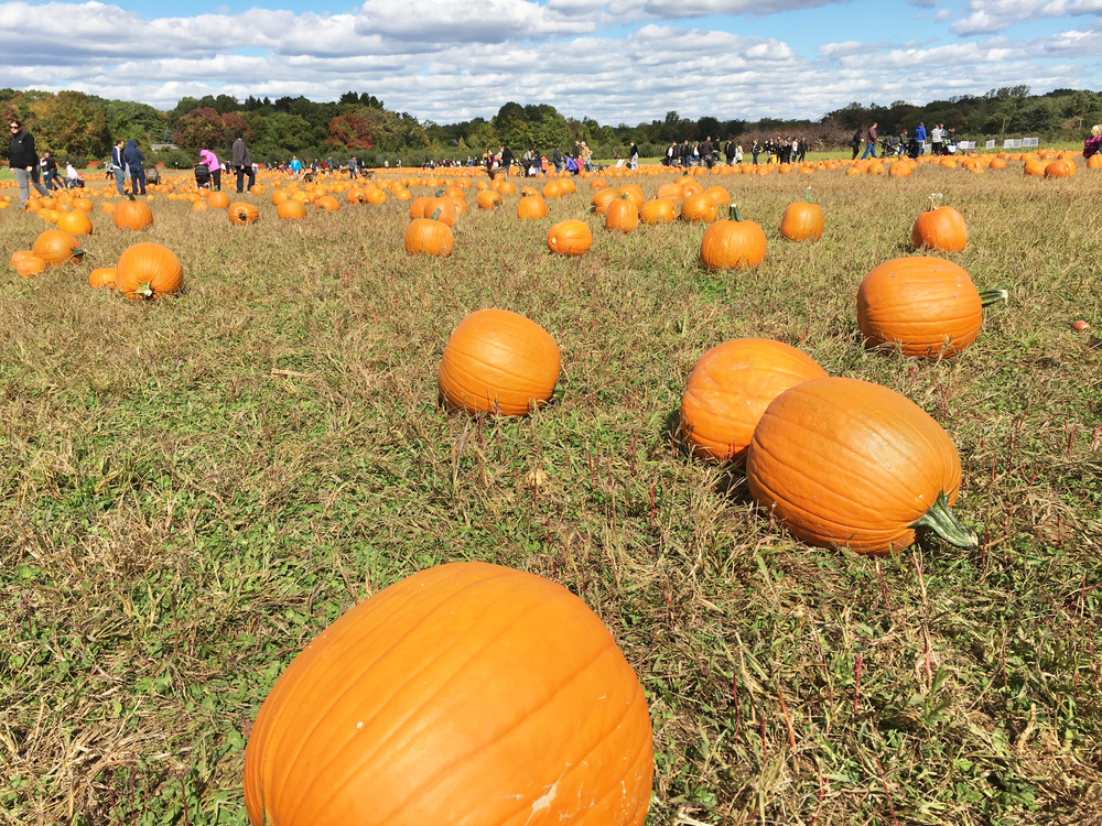 Sam-C-Perry-Lifestyle-PUMPKIN-PICKING-Eastmount-Orchards-Pumpkin-Patch.jpg