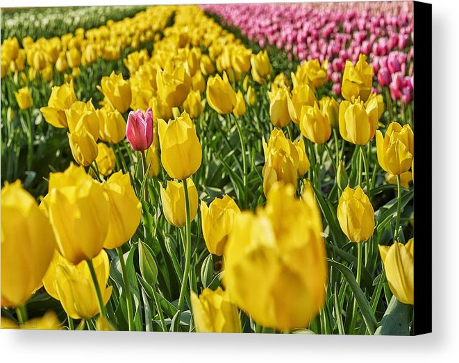 tulip-fields-mauricio-ricaldi-canvas-print.jpg