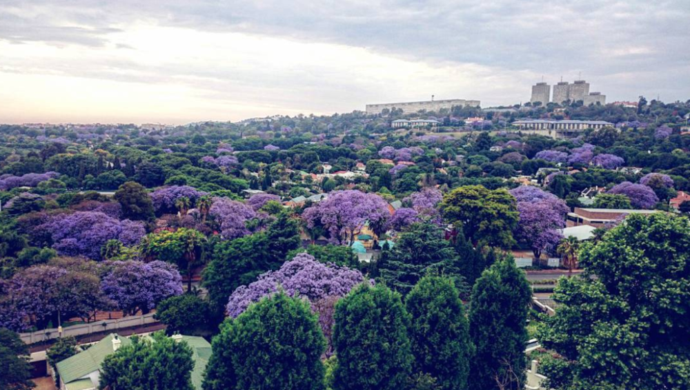 Where to see Jacaranda's