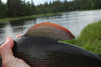 Grayling Fin in Tännån