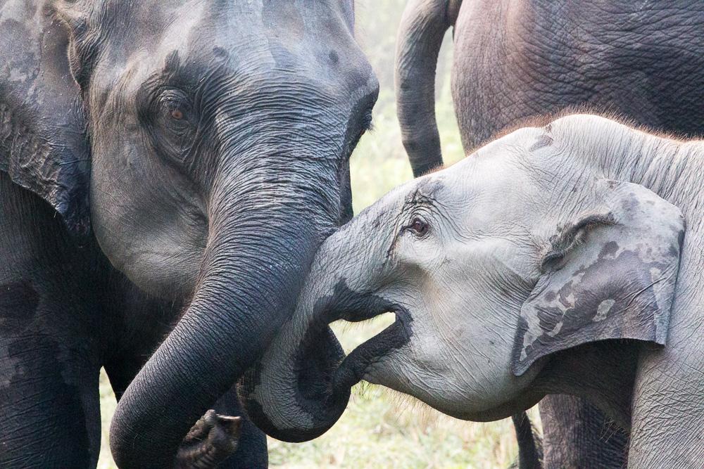 Tame elephants, Kaziranga National Park, Assam