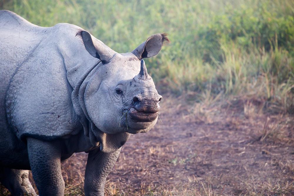 Rhino in the Kaziranga National Park, Assam