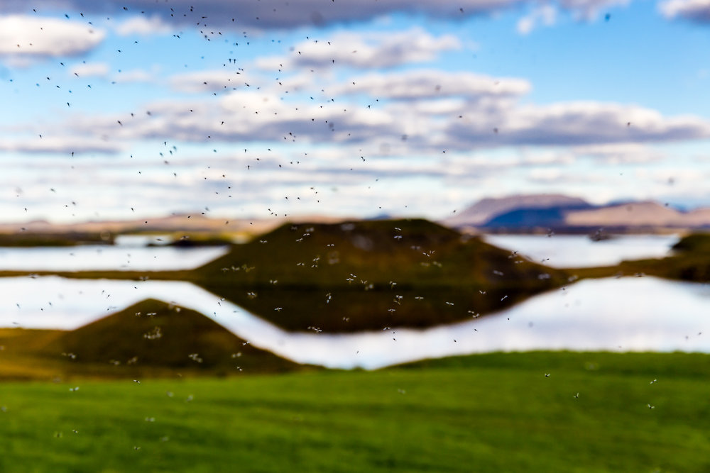Midges caught in mid flight, Lake Myvatn, Iceland