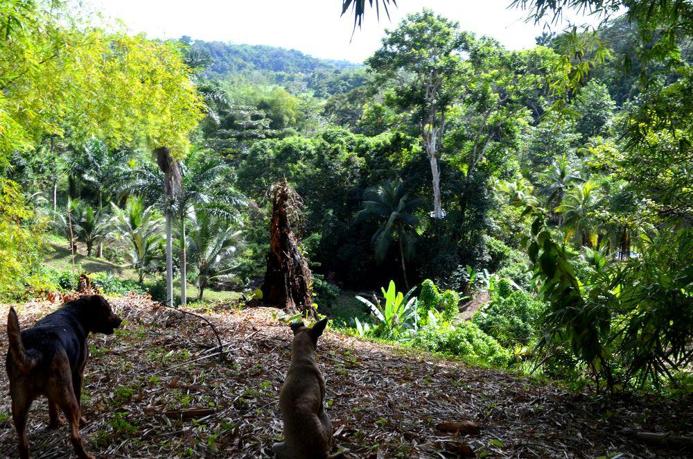 dogs overlooking jungle.JPG
