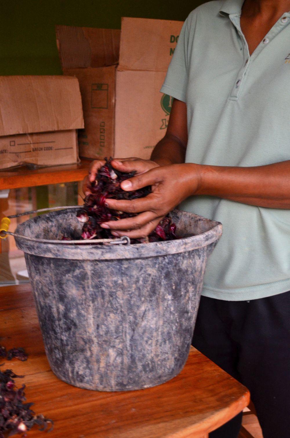harvesting sorrel 4.JPG