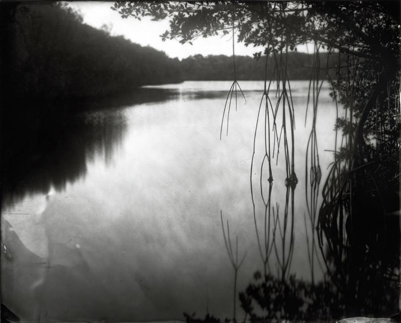 Mangrove, Coots Bay Pond, 2010