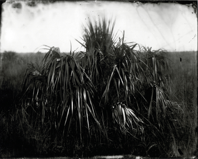 Palm in Sawgrass, 2010