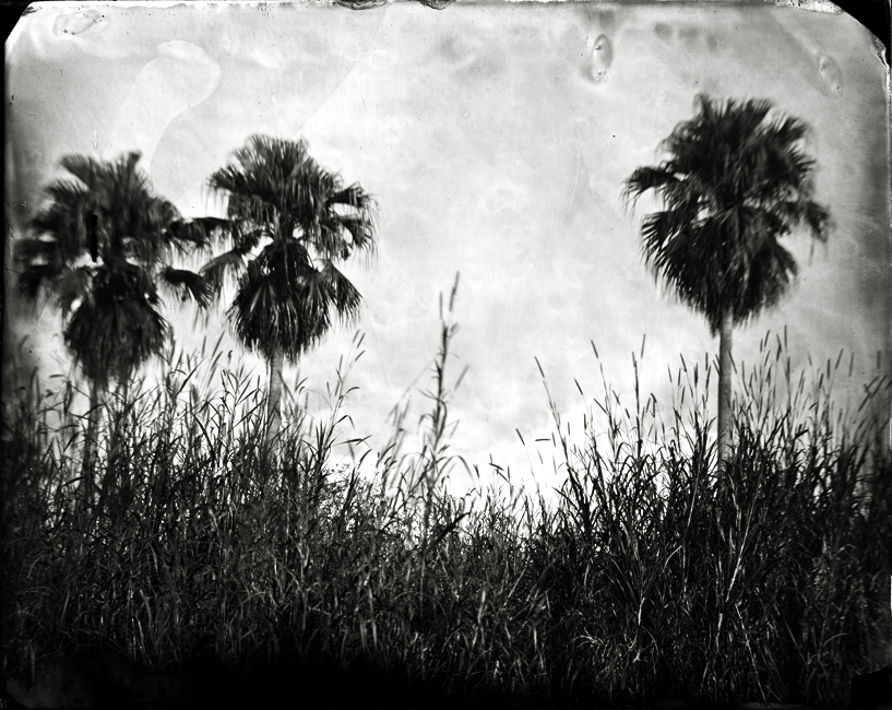 Three Cabbage Palms, 2010