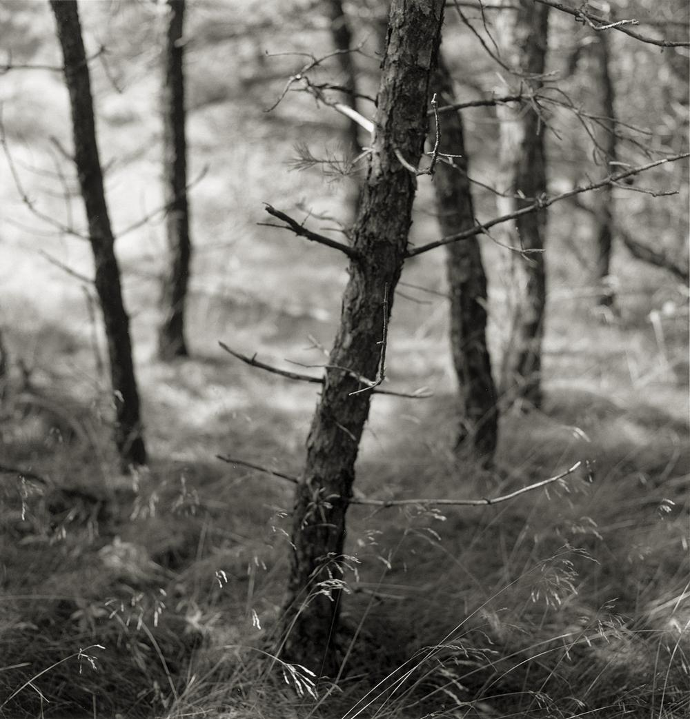 Pine Woods #37,