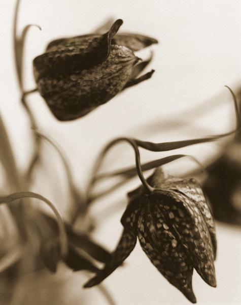 Fritillaria, 1995