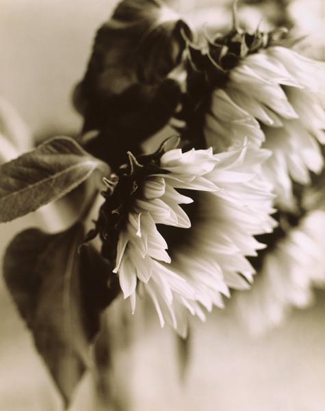 Sunflower, 1995
