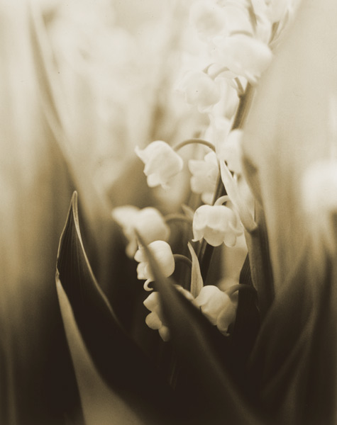 Lily of the Valley, 1996,