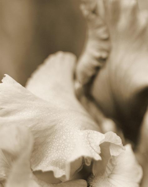 Garden Iris, 1996
