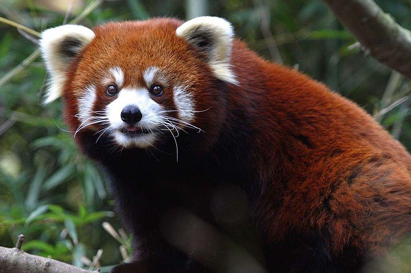 Red Panda. Source: Wikimedia Commons