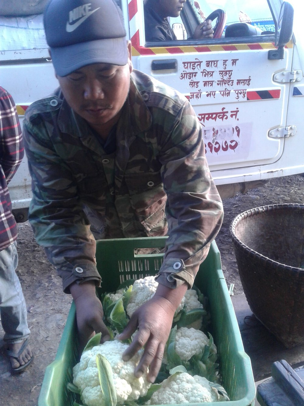 Last minute adjustments to crate of Cauliflower before they are loaded in jeeps and transported to market.