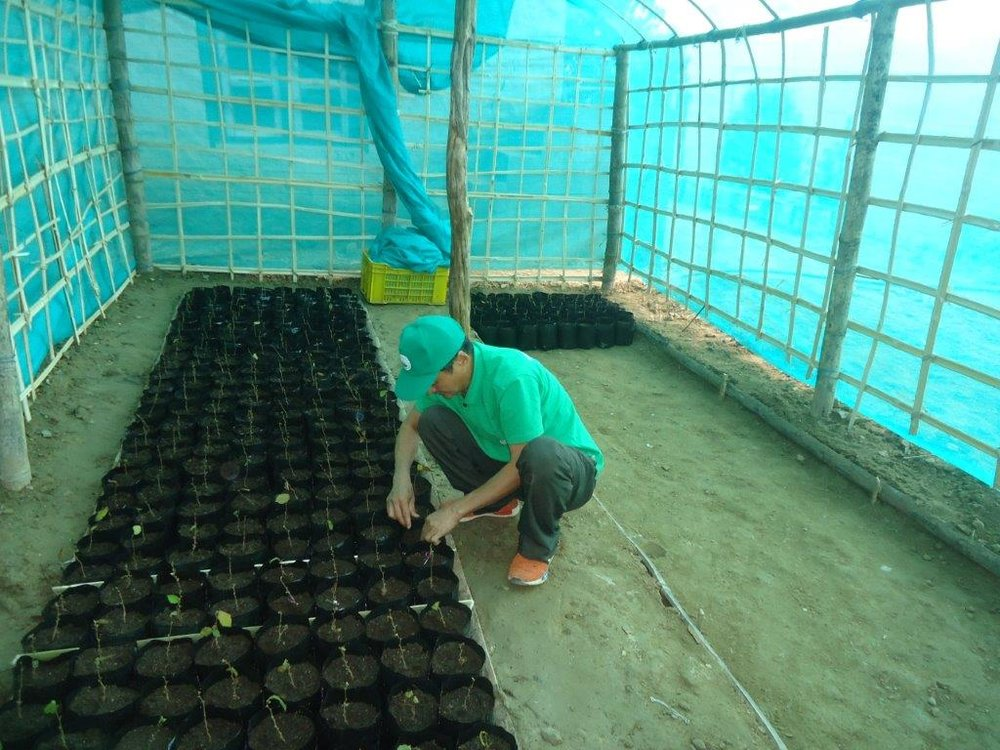 Hazelnut seedlings planted in a Polytunnel at Deusa AFRC