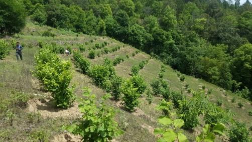 Mature and well kept Hazelnut orchard in Bhutan