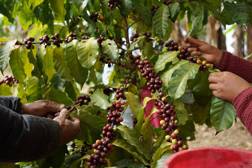 Once the coffee cherries have ripened to this deep red colour they are ready for harvesting.