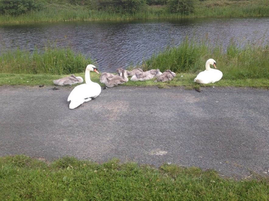 The swans and their babies on my daily walk