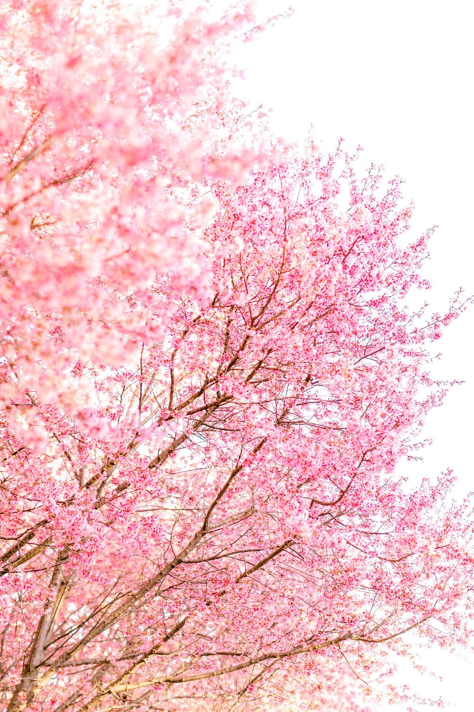 cherryblossoms-32.jpg