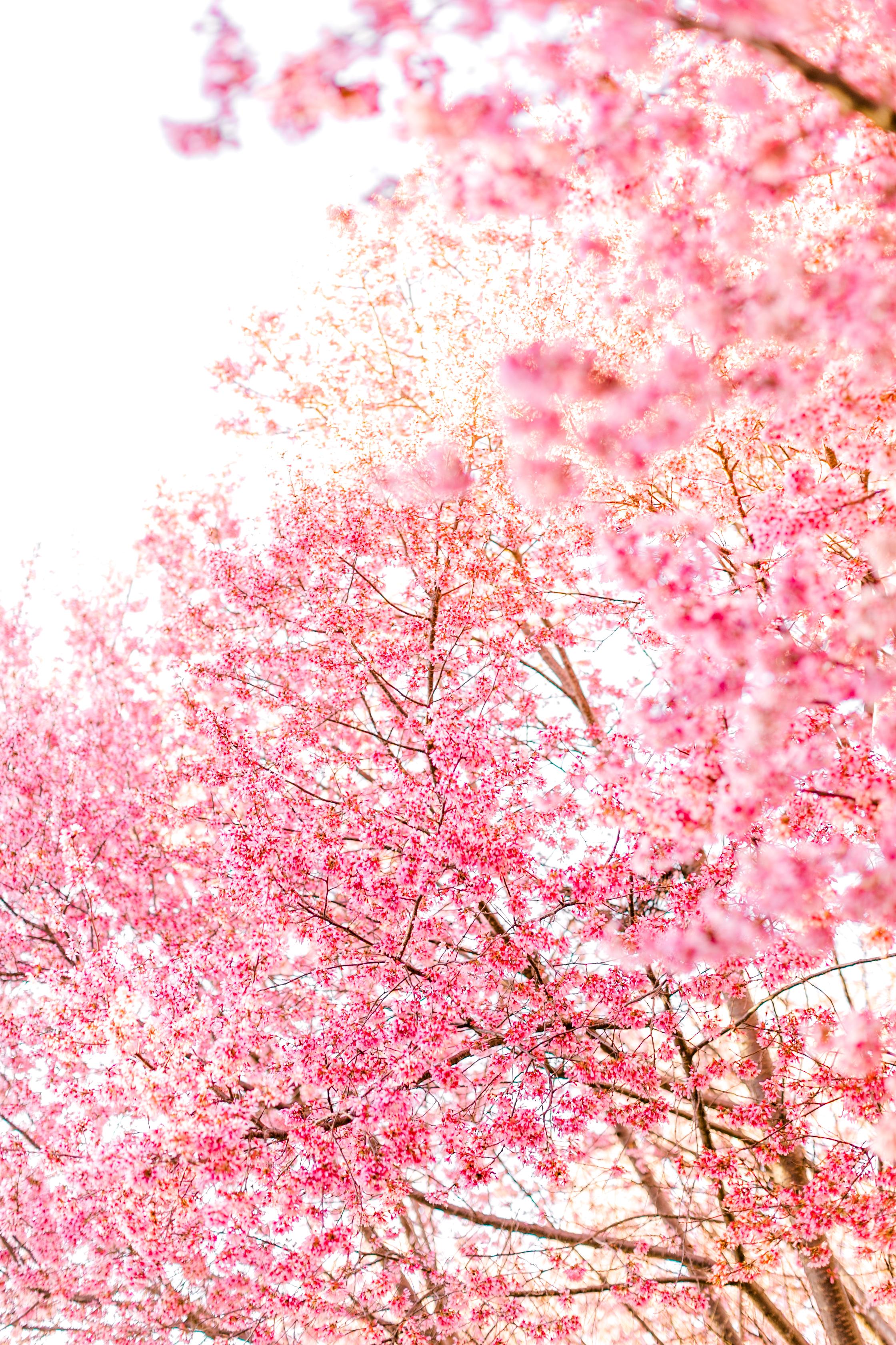 cherryblossoms-34.jpg