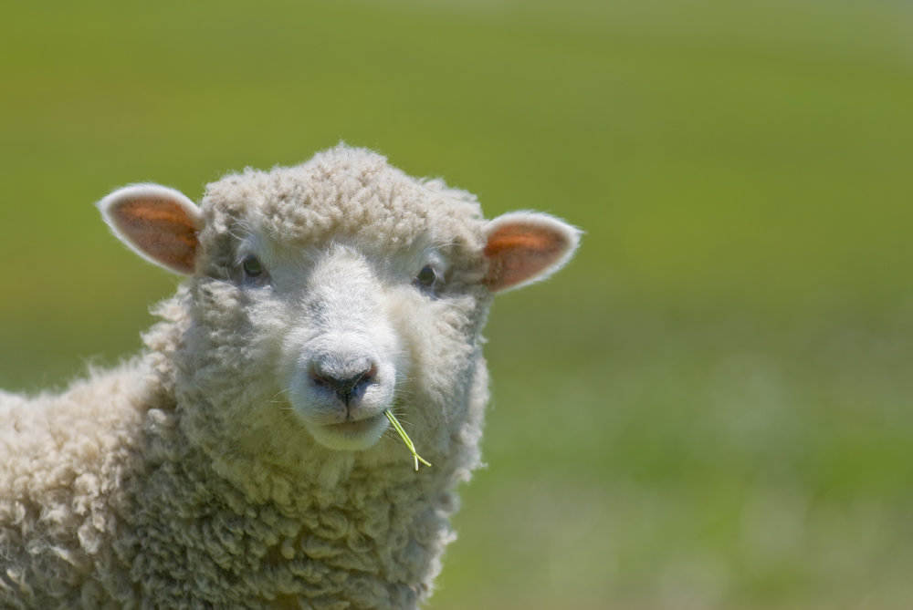 http://countrysidenetwork.com/category/daily/livestock/sheep/