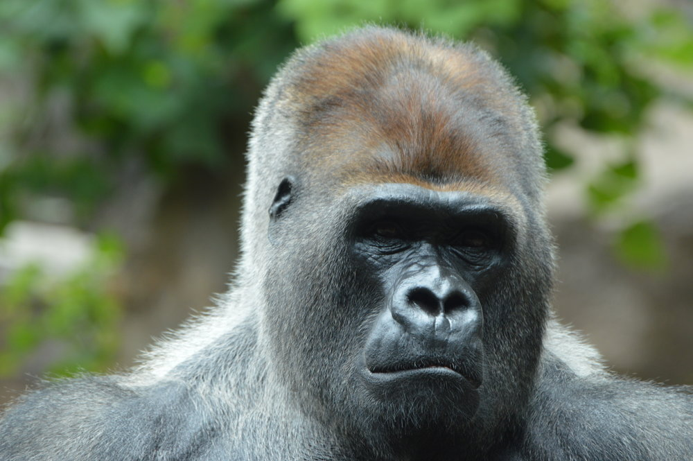 One of the Gorilla's at Loro Parque.