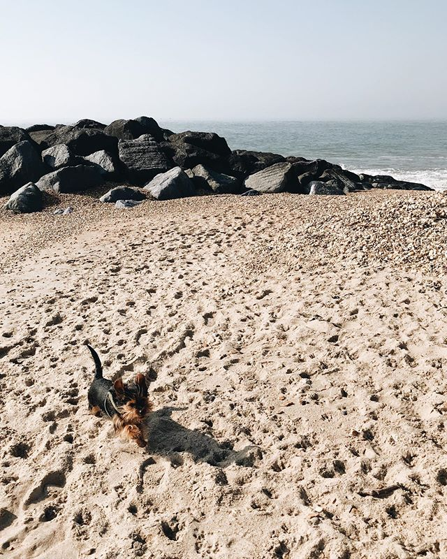 Happiest at the beach (when the weather isn't rubbish) 🐾 #hampshire #dorkie