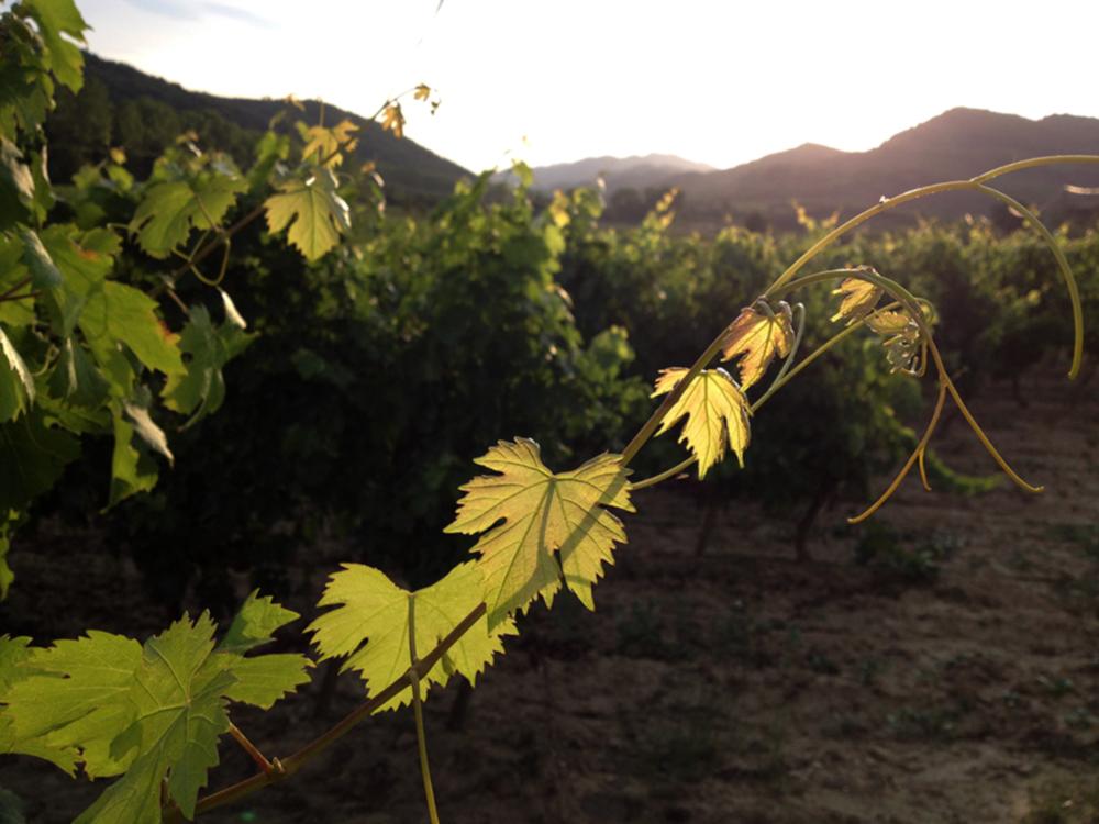 Local vineyards