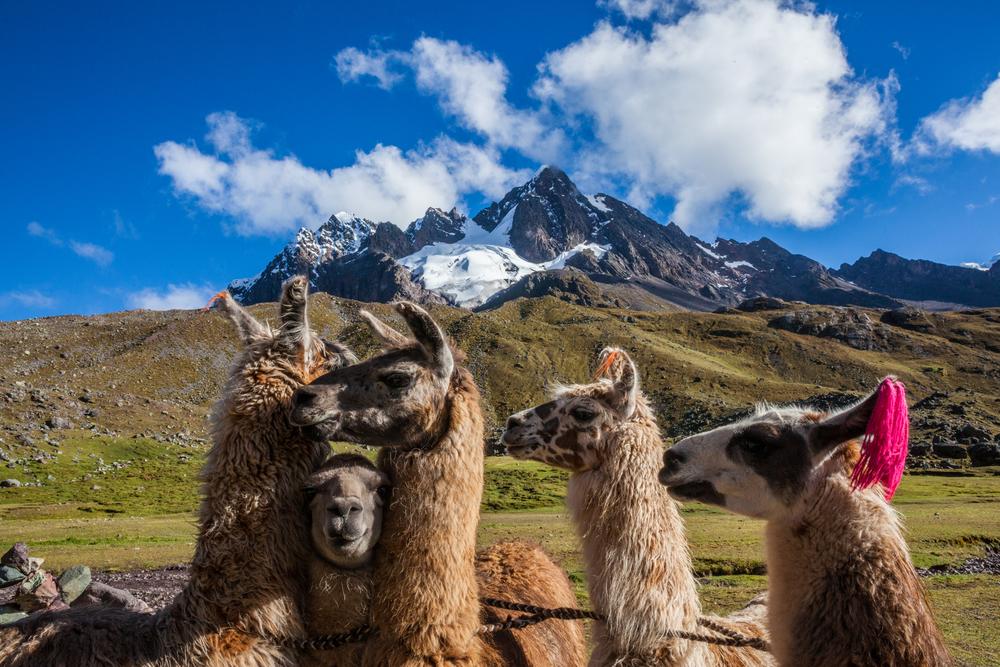 Llamas3.jpg