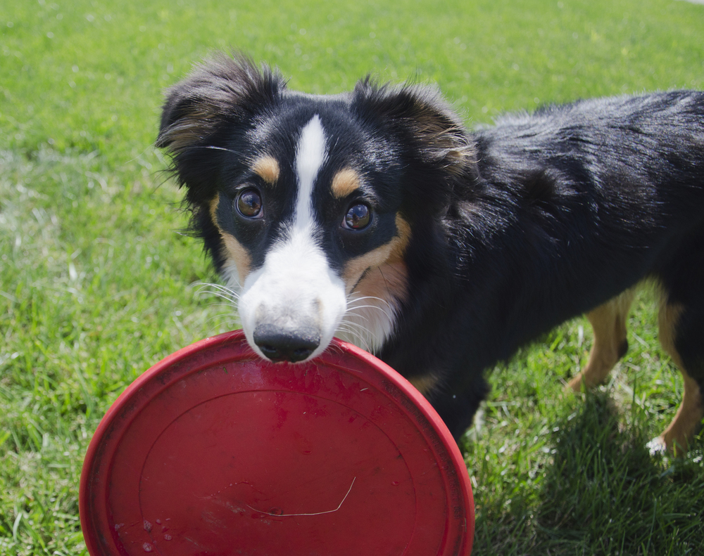 This is Jude. She's a 10-month-old Australian Shepard. I met Jude while she was playing frisbee with her humans in downtown Muncie. Her humans fell in love with her after they saw a photo of her, and decided to get her instead of a German Shepard. They got Jude on Christmas Eve 2014.