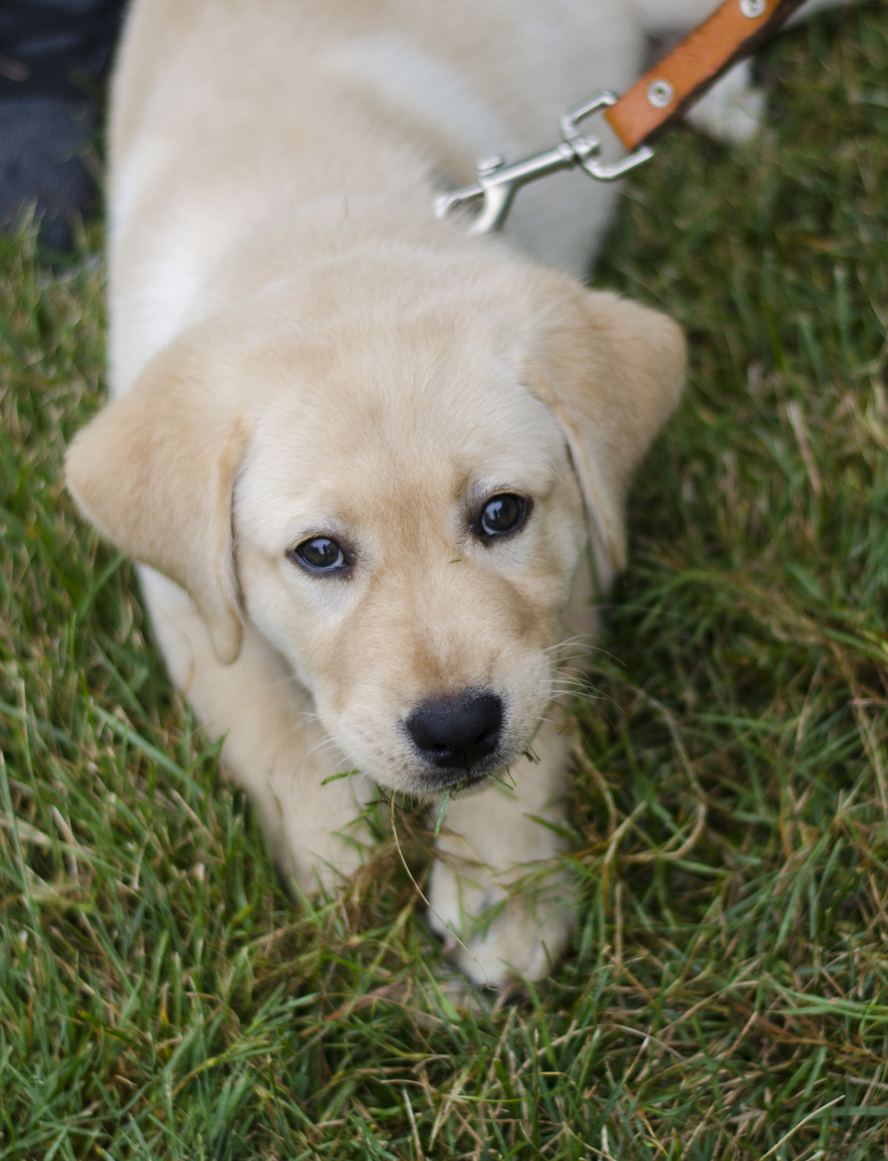 This is Charlie. He's a 10-week-old Yellow Labrador. Charlie's human, a Ball State professor, is training him to be a guide dog for the blind. He is learning how to act in different environments. Students are not allowed to pet Charlie because of the training.