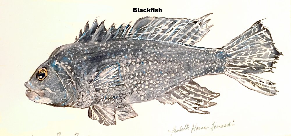 Black sea bass copy.jpg
