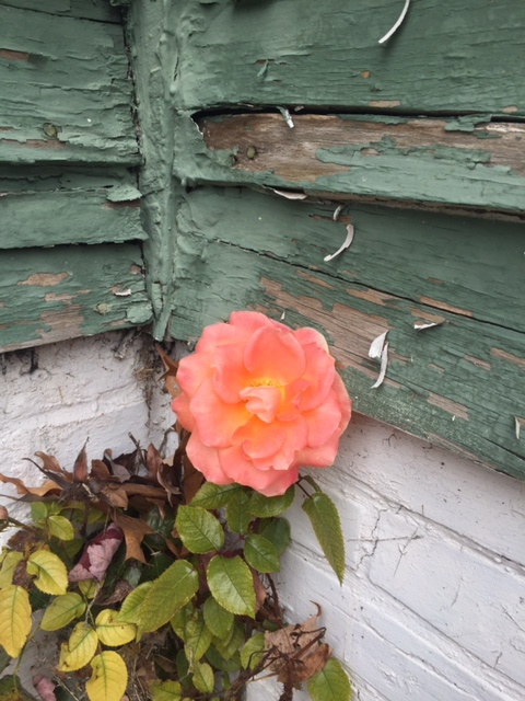 Rose at 1312 Ransom
