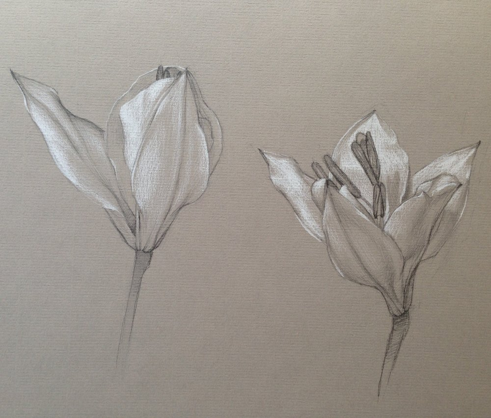 Blooming Lily Study  by Katherine Whipple, 2015 9 x 12 in, graphite and white chalk on toned paper