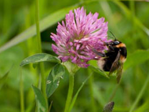 bumblebee visiting a red clover flower