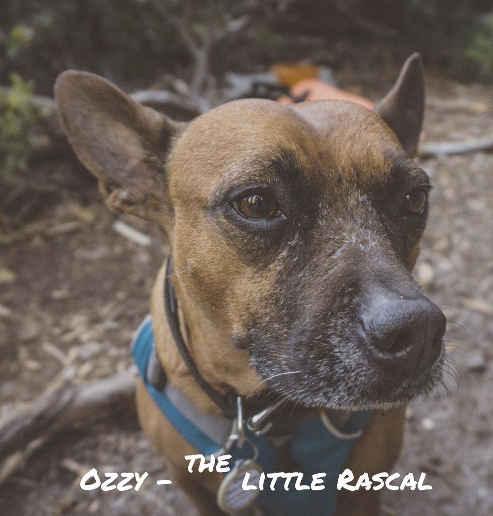 Ozzy - the little Rascal