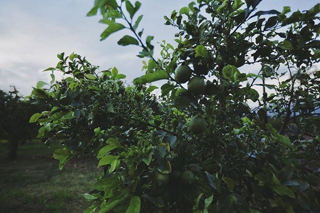 #organic #lemons #bardsdale #organicfarming #familyfarm #organiclemons