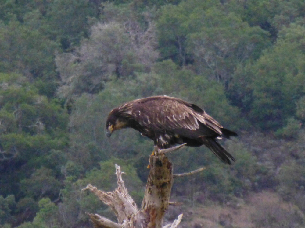 juv bald eagle at pris.JPG