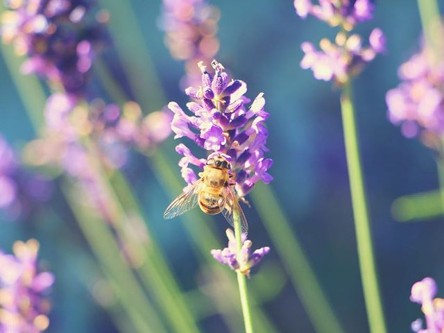 UNUSUAL USES FOR LAVENDER ESSENTIAL OILS: . – Apply a drop of lavender oil to soothe chapped lips. . – Rub a drop of lavender oil in your palms, cup your hands, and inhale deeply to alleviate hay fever symptoms. . – Massage a few drops into the scalp to treat dandruff. . – Place a drop on the tip of the tongue or around the ears for help with motion sickness or nausea. . – Mix a few drops into a mixing oil (sesame, coconut) and apply to eczema rashes. . . . . #lavender #lavenderoil #essentialoil #lavenderessentialoil #wellness #esthetician #holistichealth #naturalskincare #organicskincare #organic #skincare #sanfrancisco #potrerohill #livehealthy #healthylifestyle