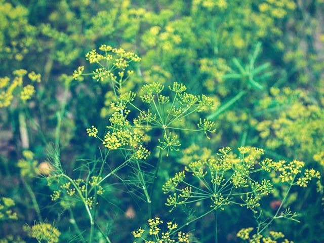 FENNEL FOR SKINCARE – Fennel is known primarily as a culinary herb, but it also has skincare benefits when applied topically. Fennel is rich in essential oils with anti-inflammatory and analgesic properties. Creams that contain fennel have shown in studies to help with collagen production to plump the skin, and even to decrease the diameter of facial hair. . . . . #fennel #organicskincare #skincare #holistichealth #naturalskincare #herbalremedy #herb #esthetician