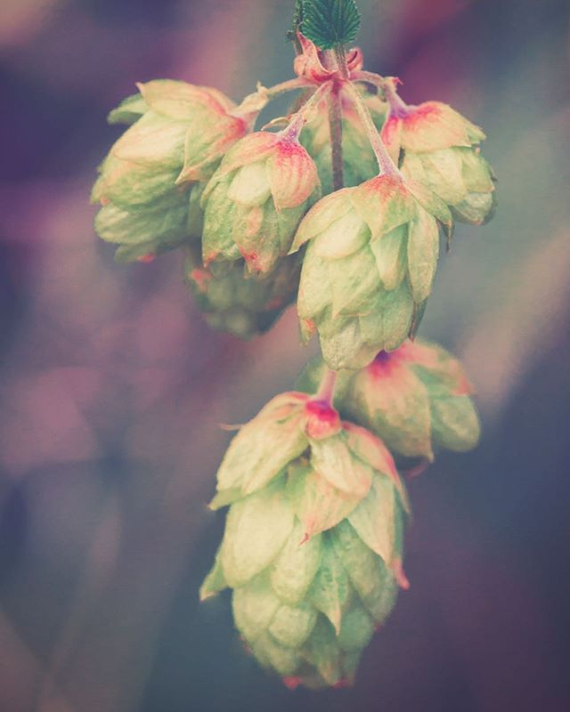 HOPS FOR THE SKIN – You may know that hops is the herb that lends complex flavor and bitterness to your favorite IPA, but did you know it also has skincare benefits? When used topically compounds from hops can strengthen the dermis and reduce wrinkles. Even more surprising, hops has been known to kill acne-causing bacteria on the skin. . . . . #hops #herbalskincare #holistichealth #organicskincare #esthetician #acne #acneremedy
