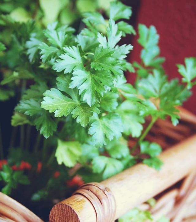 PARSLEY FOR THE SKIN – Parsley is another culinary herb that has benefits when used in topical skincare remedies. Packed with vitamins C, K, and A, parsley can help fade under-eye dark circles and kickstart cell regeneration and collagen production. Compounds in parsley have wide-ranging anti-inflammatory properties to help with conditions such as rosacea and eczema . . . . #medicinalherb #parsley #naturalskincare #holistichealth #wellness #esthetician #sanfrancisco #bayarea